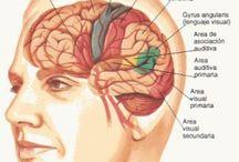 Anatomia / Sistema Nervioso