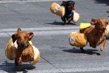 Wiener dogs rule