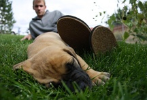Cooper The Boerboel / Pictures of our dog, Cooper. He is a Boerboel (South African Bullmastiff)