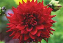 Dahlia - Summer to Autumn Flowers / Dahlias are long flowering, with lush foliage, easy to care for & come in a huge array of colours shapes & sizes. Dahlias tubers take around 8 weeks from planting to flower. Plant your Dahlia tuber in a sunny spot into moist, humus rich, well drained soil.  Keep moist during active growth. Dahlia tubers don't really need to be lifted (dug) if the soil is well drained and you don't live in areas where the soil will freeze.  To read more about Dahlia see: http://www.tesselaar.net.au/dahlias