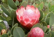 Proteas and other flowers