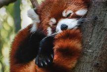 Red Pandas! / by Sharnae Hope