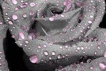 Roses Grey