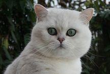 Britskorthaar
