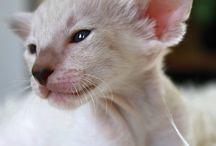 My little darling / Funny Bunny siamese cat from Barakana Cattery CZ