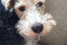 Wire Fox Terrier Love