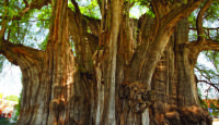 Largest Trees In The World / These Top 10 The Biggest Trees In The World are not only majestic to look at but also sustain major habitats that can't survive without them.