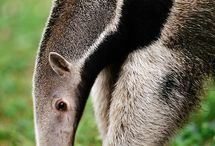 Anteaters - Characters