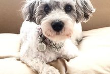 Sophie the Schnoodle