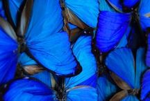 multiple blue butterfly