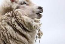 I Love Sheep and Goats!! / My love of caprids:) / by Mary Tipping