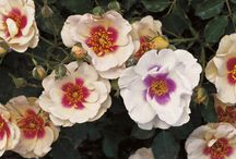 Roses and Flowering Shrubs / Roses and flowering shrubs are back! The new generation of flowering shrubs are more disease-resistant and more tolerant of a broad range of growing conditions. And the flowers are awesome.