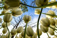 Tulips 500px / by rani Rani