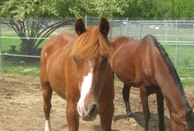 Adopt a Farm Animal! / The NHSPCA cares for more than just cats and dogs. We are a community safety net for thousands of animals per yer including horses, ponies, pigs, goats, chickens, ducks and much more. Visit www.nhspca.org for more info on our farm animals available for adoption!
