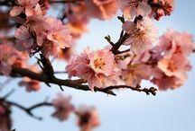 Blühend... / Mandelblüte in der schönen Pfalz
