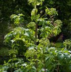 Miříkovité rostliny