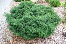 taxol plantene