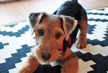 welsh terrier and foxterrier