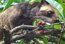 KOPI LUWAK OR CIVET COFFEE