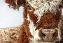 my love of cows / moo...