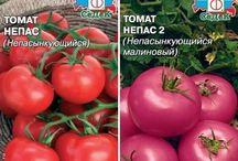 томаты непас