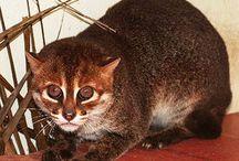 Flat headed cat / Cat