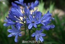 Agapanthus Baby Pete uspp 23132 / This baby is exotic! Its blue with dark blue stripe and mauve bell-shaped flowers clump tightly on a very compact plant. Its foliage is shorter, wider, and darker green than other selections. Size only 12 inches high by 18 inches wide, blooming summer into fall, zone 8-11 Bred in Queensland Australia