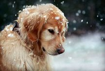 {life} dog love / my love of golden retrievers and labs