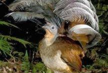 Birds - Lyrebirds