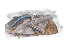 Arte naturalista- ilustração científica / Trabalho com aquarela em ilustrações científicas e naturalistas