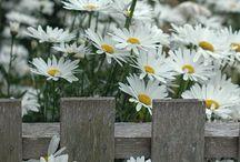 Pretty Nice daisies