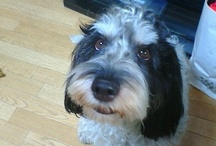 """Petit Basset Griffon Vendeen in Japan / Name is """"button"""". Because like a """"button"""" nose!"""