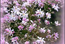 Magnolia stellata / The fleeting beauty of Magnolias