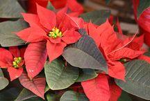 Holidays in Arboretum / Prazniki v Arboretumu / Advent, prazniki, novoletne smreke, razstava