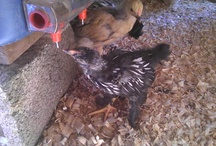Feathered Friends / Pictures of chickens sent to us by friends and followers of Chicken Waterer .com