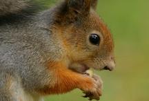 Süße Eichhörnchen
