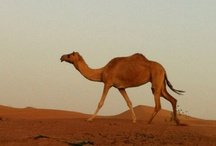 Camels / by Sahar Tribalbabe