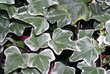 IVY / Colours and Varieties