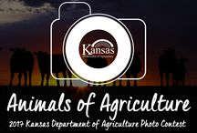 2017 Animals of Agriculture Photo Contest / Our animals and pets are our best friends, partners and helpers in the agriculture industry. From family pets to livestock, Kansas farmers and ranchers care for our animals. Enter photos of the animals around your farm or ranch that bring a smile to your face. 1 pin is one vote for the photo.