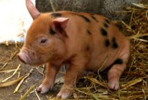 Pigs and Piglets / Pigs and Piglets