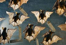 Bats in my Belfry / Bats eat insects in volume and pollinate crops. They need to be saved in the 21st century.  Bat World Sanctuary and Batconservation.com need your help.  / by ArtsnEnds4