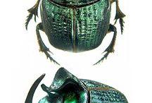 scarabaeidae phaneini