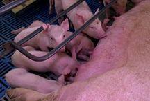 Criação de Porcos