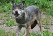 Die Wölfin / Wolf - Lupo  www.FeenArt.de | Claudia Böttcher