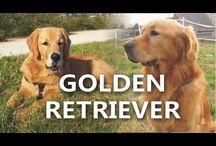 ANIMALS - DOGS - GOLDEN RETRIEVER