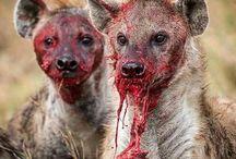 hyeny
