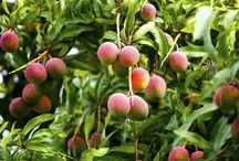 Hawaiian Fruit / Remember, safety first - Please be aware of energized, overhead power lines when picking fruit!