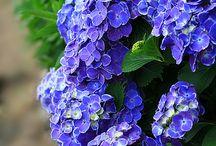 Flower Garden - Hydrangea / by Dee Killingsworth