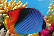 2015 Exotic Fish Calendar / by MegaCalendars.com