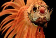 Pesce combattente